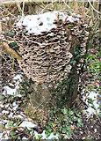 SU1126 : Turkey Tail fungi by Jonathan Kington