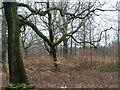 SE1811 : Joy Wood in winter by Christine Johnstone