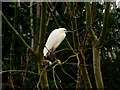 TQ5804 : Little Egret on ash tree, Polegate by nick macneill
