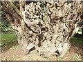 SU7135 : Gnarled Yew, Upper Farringdon by Colin Smith