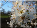 ST4491 : A promise of Spring - blossom beside the A48 near Llanvaches by Ruth Sharville