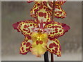 TQ0658 : Variegated Orchid by Colin Smith