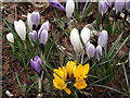 TQ0658 : Crocuses by Seven Acres Pond by Colin Smith