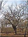 TQ4399 : Winter Oak by Roger Jones