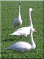 SU1410 : Mute Swans (Cygnus olor) by Maigheach-gheal