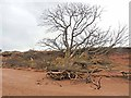 NT6378 : Forlorn tree at Hedderwick Sands by Oliver Dixon