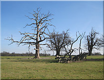TL8162 : Dead trees in Ickworth Park by Bob Jones