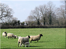 SP9013 : Lambing Time at Wilstone Great Farm by Chris Reynolds