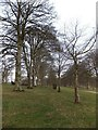 SX0963 : Between the double line of trees lining the drive of Lanhydrock House  by David Smith