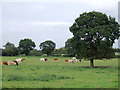 SJ7758 : Pasture west of Hassall Green, Cheshire by Roger  Kidd