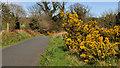 J4272 : Whin bushes, Dundonald by Albert Bridge