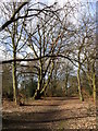NZ1853 : Old Beech tree in Tanfield woods by Robert Graham