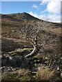 NY5210 : Venerable ash tree, Sleddale Beck by Karl and Ali