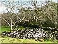 NG4163 : Old wall, old trees by Dave Fergusson