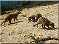 SU1082 : Meerkats, Blooms Nursery, near Swindon by Brian Robert Marshall