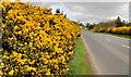 J4365 : Whin bushes near Ballygowan by Albert Bridge