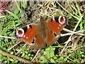 NY7063 : Peacock butterfly near the Alston Arches Viaduct by Mike Quinn