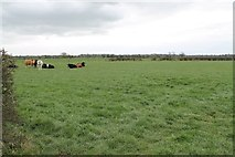 SK8158 : Cows in Field off Holme Lane by J.Hannan-Briggs