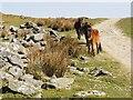 SX5968 : Dartmoor Ponies at Eylesbarrow Tin Mine by Tony Atkin