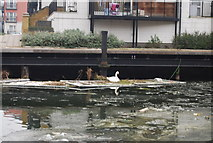 TQ3681 : Swan nesting on the Regent Canal by N Chadwick