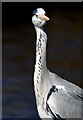 NY3684 : A grey heron by the Ewes Water at Langholm by Walter Baxter