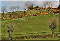 J4054 : Whin bushes near Saintfield (1) by Albert Bridge