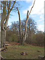 SP9910 : Dead tree at the edge of Frithsden Beeches by Roger Jones