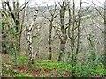 NZ1557 : Bracket fungus on a silver birch tree by Christine Johnstone