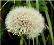 J3268 : Dandelion seeds, Minnowburn, Belfast by Albert Bridge