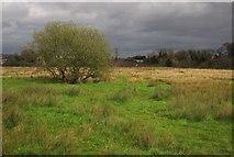 SX9066 : Tree on former Barton tip by Derek Harper
