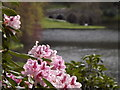 ST7734 : Rhododendron Flower, Stourhead by Colin Smith