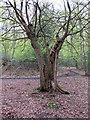 TQ4894 : Split trunk, but still living by Roger Jones