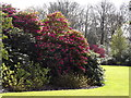 ST7734 : Rhododendrons, Stourhead House by Colin Smith