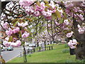 TQ1364 : Flowering Cherry Trees, Esher by Colin Smith