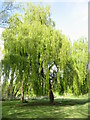 SJ3776 : Willow Trees, Rivacre Valley by Sue Adair