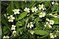 SP6215 : Primroses at Boarstall Decoy by Steve Daniels