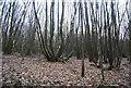 TQ6126 : Coppicing, Hawksden Park Wood by N Chadwick