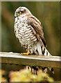 SJ3301 : Eurasian Sparrowhawk (Accipiter nisus) by Dave Croker