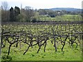 TQ8015 : Grape vines at Carr Taylor Vineyard by Oast House Archive