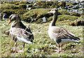 NM4099 : Greylag Geese (Anser anser) by Anne Burgess
