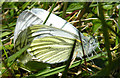 NM4298 : Green-veined White Butterflies (Pieris napi) by Anne Burgess