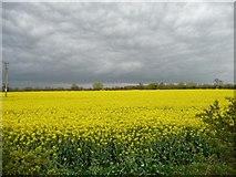 SK1515 : Edge of an oilseed rape field by Christine Johnstone