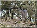 TF6628 : Wild deer in Wolferton, Norfolk by Richard Humphrey