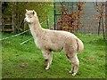NY9269 : Fallowfield Alpacas by Oliver Dixon