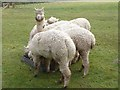 NY9369 : Feeding time at Fallowfield Alpacas by Oliver Dixon
