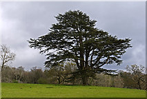 SH7118 : Field with cedar tree, other trees beyond by Trevor Littlewood