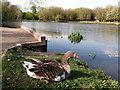 TQ7765 : Greylag Goose, Capstone Country Park by David Anstiss