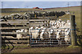 HP5901 : Sheep gathered in at Uyeasound by Mike Pennington
