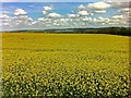 SE4105 : Yellow as far as the eye can see by Steve  Fareham