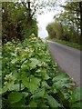 NZ1060 : Garlic mustard (Alliaria petiolata), Moor Road by Andrew Curtis